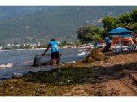 Ocaklar sahili yosunlardan temizleniyor