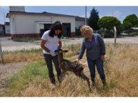 Bitkin halde bulunan kızıl geyik yavrusu tedavi altına alındı