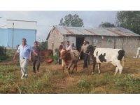 Dedektif muhtar çalıntı inekleri buldu
