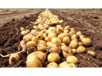"""Türkiye'nin yerli ve milli patatesi """"Nahita"""" dünyaya açıldı"""