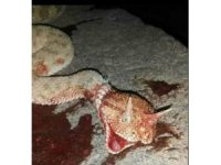 Mardin'de boynuzlu yılan görüldü