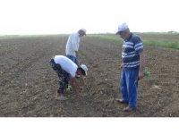 Muş'ta lahana ekimine başlandı