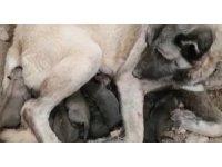 Kangal köpeği 11 yavru doğurdu