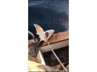 (Düzeltme) Antalya'da 2 metre boyunda köpek balığı yakalandı