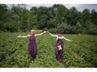 Kozcağız'da çilek hasadı şenliği