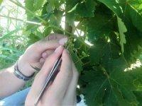 Tekirdağ'da üzüm çeşidini arttıracak projede sona gelindi