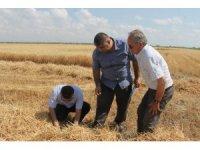 Buğdayda dane kaybına karşı denetim yapılıyor
