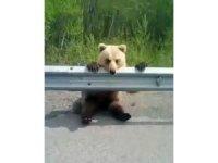 Yavru ayı yol kenarına oturarak otomobilleri izledi