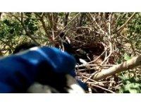 Yuvadan düşen yavru kuşlar yuvalarına bırakıldı