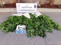 Yalova'da 600 kök Hint keneviri ele geçirildi