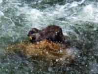 Erzincan su samurları balık avlarken görüntülendi