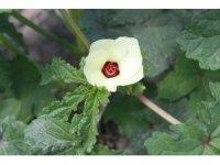 Amasya'da çiçek bamya hasadı başladı