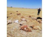 Karaman'da otlamak için tarlaya götürülen 42 koyun telef oldu