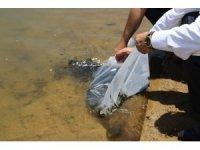 Kırıkkale'de sazan yavruları göletlere bırakıldı