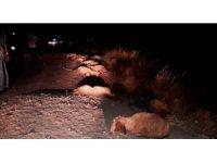 Kamyonet koyunlara çarptı, 25 hayvan telef oldu