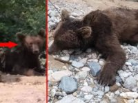 Giresun'da aç kalan boz ayı ölü bulundu!