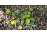 Aydın'da incir üretimi SOS veriyor