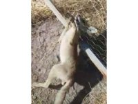 Tele sıkışan tilkiyi kurtardı