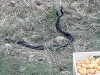 Malatya'da yılanların dansı görüntülendi