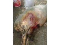 Pamukkale'de koyun sürülerine kurt saldırdı