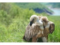 Nesli tükenme tehlikesi altında olan Kızıl Akbabayı THY Kargo taşıdı