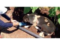 Tarlada sıcaktan bitkin düşen köpeğe ayakkabısıyla su içirdi