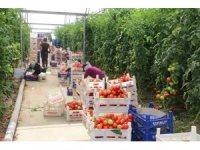 Erzincan'da domates üretimi artıyor