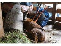 Köpeklerin saldırısına uğrayan karaca tedavi altına alındı