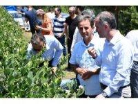 Türkiye'nin en büyük yaban mersini bahçesinde hasat başladı