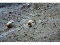 Anne boz ayı ve yavrusu, yiyecek ararken görüntülendi