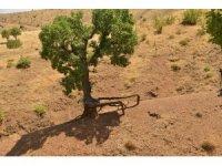 Meşe ağaçları koruma altına alınıyor