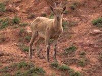 Dağ keçileri Pülümür çayında serinledi