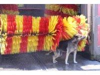 En temiz köpek, yıkanma yöntemiyle fenomen oldu
