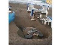 Deniz kaplumbağasının şezlonglar arasındaki yumurtlama çabası