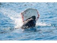 Akdeniz foku, vatozu böyle yedi
