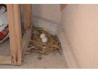 Balkona yumurtlayan güvercine aile bireyleri gibi sahip çıktılar