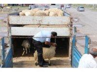 Kars'ta, genç çiftçi hayvan dağıtımları devam ediyor