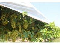 Thompson üzümünün Buldan'da deneme üretimine başlandı