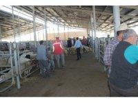 Şuhut hayvan pazarında hareketlilik devam ediyor
