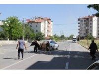 Konya'da kaçan boğa güçlükle yakalanabildi