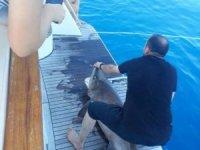Boyu tam 3 metre... Antalya'da turistlere köpekbalığı sürprizi!