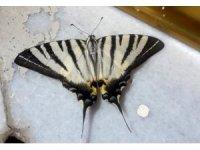 Adıyaman'da zebra çatal kuyruklu kelebek görüldü