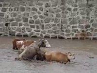 Sele kapılan büyükbaş hayvanlar böyle görüntülendi