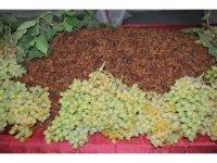 Üzüm üreticisi sezona umutlu başladı
