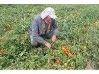 Sözleşmesiz domates eken üretici hayal kırıklığına uğradı