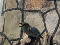 Yaralı Gökkuzgun kuşu tedavi altına alındı