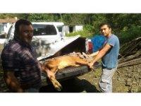 Köpeklerin saldırısına uğrayan karaca tedavi altında