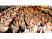 Kütahya'da kümes hayvanı sayısı yüzde 7,7 azaldı