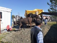 Göle'de çalınan hayvanlar Kars'ta yakalandı