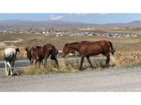 Kars'ta yılkı atları görüntülendi